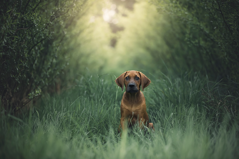 Hundeshooting Reitnau, Hundeshooting Rhodeisan Ridgeback, Hundeshooting Aargau